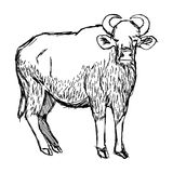 Illustration vector hand draw doodles of wild male gaur isolated Royalty Free Stock Photo