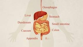 Illustration von Magen-Darm-Kanal Anatomie stock video