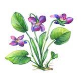Illustration von wohlriechenden wilde Blume der Veilchen englischen Märzveilchen, Violaodorata Stockfotografie