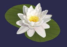 Illustration of a water lily Royalty Free Stock Images