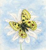 Illustration of watercolor butterfly Apollo. Butterfly Parnassius apollo Royalty Free Stock Photo