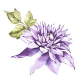 Illustration in watercolor of a clematis flower blossom. Floral card with flowers. Botanical illustration. Illustration in watercolor of a clematis flower vector illustration