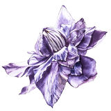 Illustration in watercolor of a clematis flower blossom. Floral card with flowers. Botanical illustration. Royalty Free Stock Photo