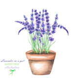 An illustration with a watercolor lavender flowers in a pot Royalty Free Stock Photo