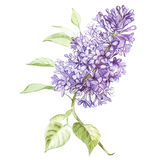 Illustration in watercolor of a Lilac flower blossom. Floral card with flowers. Botanical illustration. Stock Photography