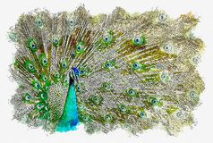 illustration or watercolor paint of peacock with beautiful feathers out