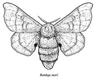 Domesticated silk moth illustration, drawing, engraving, ink, line art, vector. Illustration, what made by ink and pencil, then it was digitalized royalty free illustration