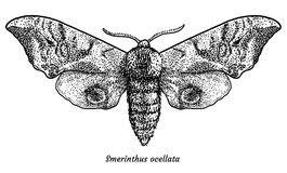 Eyed hawk-moth illustration, drawing, engraving, ink, line art, vector. Illustration, what made by ink and pencil, then it was digitalized Stock Images