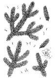 Pine branch illustration, drawing, engraving, ink, line art, vector. Illustration, what made by ink and pencil, then it was digitalized Stock Photos