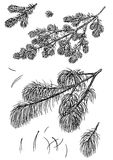 Pine branch illustration, drawing, engraving, ink, line art, vector. Illustration, what made by ink and pencil, then it was digitalized Stock Images