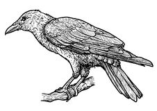 Raven illustration, drawing, engraving, ink, line art, vector. Illustration, what made by ink and pencil, then it was digitalized Royalty Free Stock Images