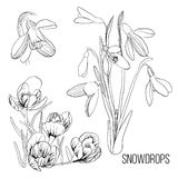 Illustration of white with black drawing contour sketch of snowdrop. Graphic design isolated object for spring stock illustration