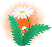 Illustration with white camomile - vector. Vector illustration with white camomile Stock Photo