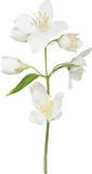 Illustration with white isolated jasmine branch Stock Photography