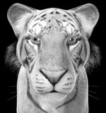 White Tiger Illustration, Wildlife, Isolated, Animal. Illustration of a white tiger wildlife animal. The feline big cat is isolated on black. PNG file available Royalty Free Stock Photography