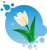 Illustration of white tulip Royalty Free Stock Image