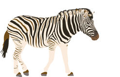 Illustration Wilde Tiere - Zebra Royalty Free Stock Photography