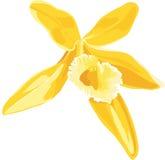 Illustration of a yellow flower of vanilla. Royalty Free Stock Photos