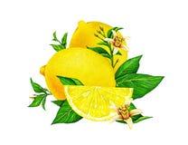 Illustrationen av gul citronfrukt på en filial med gräsplan lämnar och blommor som isoleras på vit bakgrund grupper som tecknar s stock illustrationer