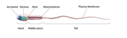 illustrationen för cellen 3d framförde sperma vektor illustrationer