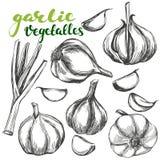 Illustrationen för vektorn för vitlökgrönsakuppsättningen handen skissar den realistiska drog stock illustrationer