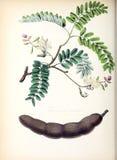 Illustrationer av växten Arkivbilder