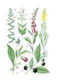 Illustrationer av växten royaltyfri foto