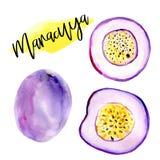 Illustrationer för vattenfärg för Marakuay hand isolerade utdragna av passionfrukt Sommarmatillustration, tropisk frukt royaltyfria bilder