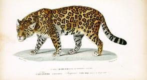 Illustrations of animal. Ancient illustration of the animal. Hand drawn Stock Image