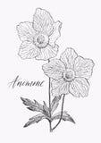 Illustrations-Blütenblume der Weinlese botanische anemone Stockfoto