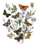 Illustrations from the book European Butterflies and Moths by William Forsell Kirby 1882. A kaleidoscope of fluttering butterflies and caterpillars. Digitally stock illustration