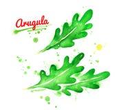 Illustrations d'aquarelle des feuilles de l'arugula Illustration Stock