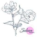 Hand drawn Japanese blossom sakura flowers. Line-art style illustration. Coloring book for adult and children. stock illustration