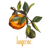 Illustrations of tangerine in retro style Stock Image
