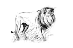 Illustrations tirées par la main de lion photo libre de droits