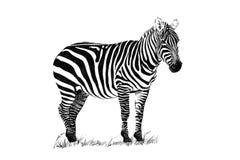 Illustrations tirées par la main de zèbre photographie stock libre de droits