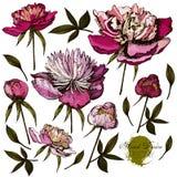 Illustrations tirées par la main gravées de fleuri Image libre de droits