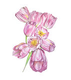 Illustrations of Tulips flowers. Perfect for greeting card or invitation. Background in watercolor style 8 March holiday Stock Images