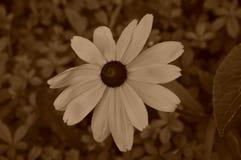 Illustrationsblumen von Rudbeckia hirta ist ein Sepia lizenzfreies stockbild