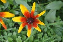 Illustrationsblumen von Rudbeckia hirta ist eine Farbskizze stockfoto