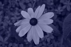 Illustrationsblumen von Rudbeckia hirta ist eine yanide Art stockfotografie