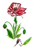 Illustrationsblumenmohnblume Stockbilder