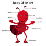 Illustrator body of ant Royalty Free Stock Images