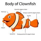 Illustrator body of clown fish Royalty Free Stock Image
