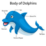 Illustrator body of dolphins Stock Image