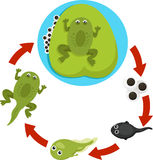 Illustrator of Life cycle of a frog Royalty Free Stock Image