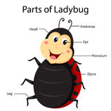 Illustrator Parts of Ladybug. Cartoon cute and education Stock Photography