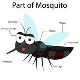 Illustrator parts of Mosquito Stock Photos