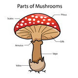 Illustrator parts of mushrooms Stock Photos