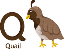 Illustrator of Q with quail Royalty Free Stock Images
